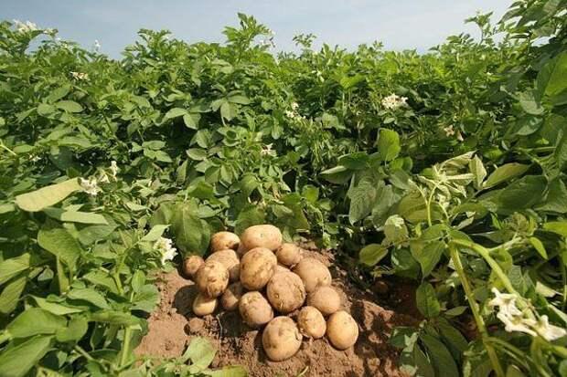 Сад, цветник и огород. Интересные советы по выращиванию картофеля