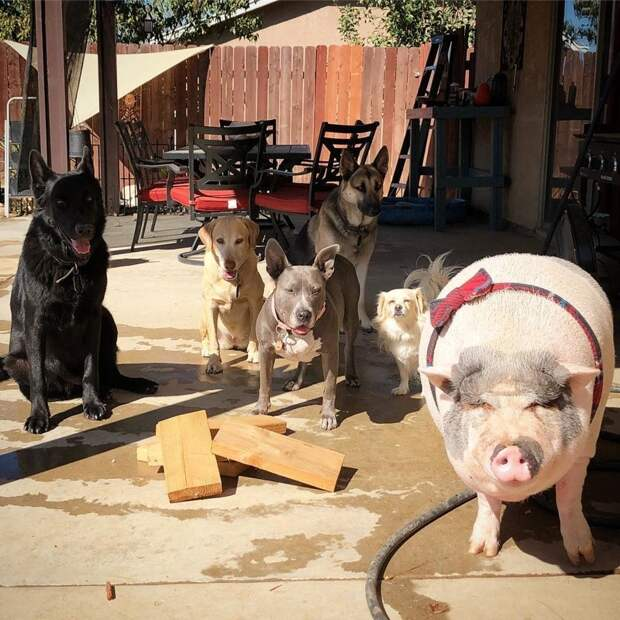 Свин – предводитель собак! Смешной шарик на четырёх копытцах живёт в собственной будке и умеет улыбаться! :)