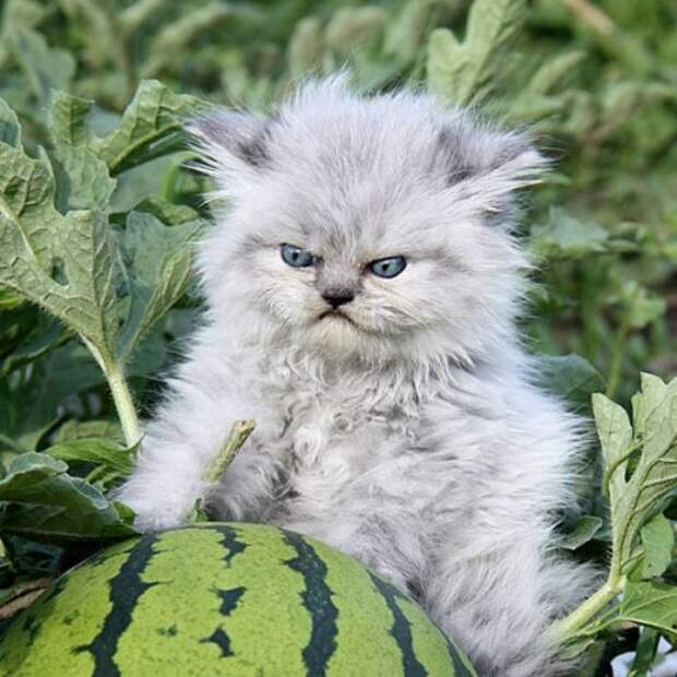 Сердитые котики, под горячую лапу которых лучше не попадаться