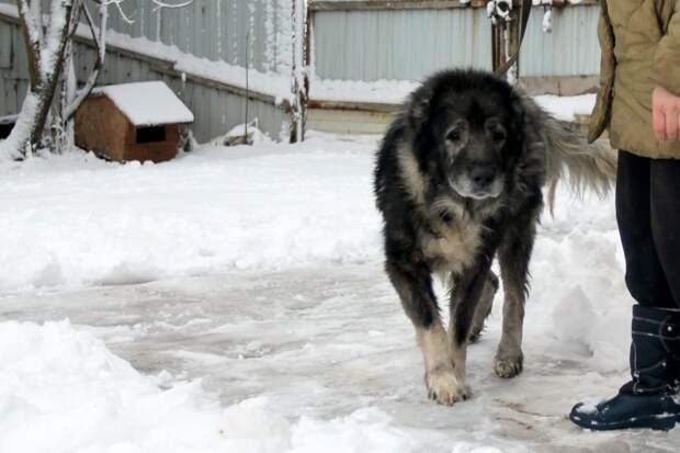 Под окнами роддома, из последних сил переставляя лапы, бродила овчарка большая собака, кавказская овчарка, собака