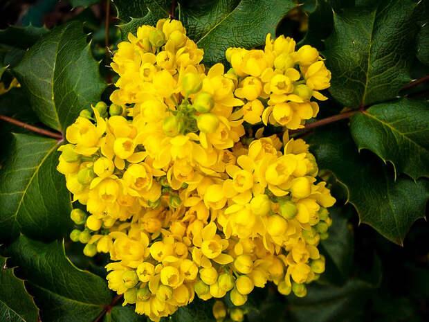 Барбарис или магония? Любители флоры из Западного Дегунина нашли ответ на этот вопрос