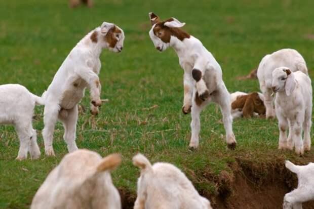 29 фотографий супер очаровательных и непоседливых козлят - 13