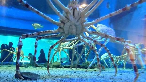 14. Японский краб-паук животные, обитатель, океан