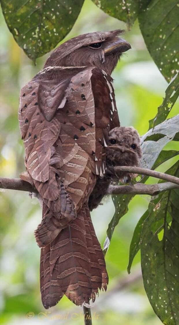 Птенцы лягушкоротов — само очарование! (29 фото)