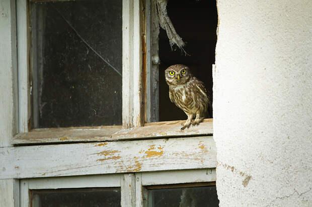 Семью в Москве разбудила залетевшая на балкон сова