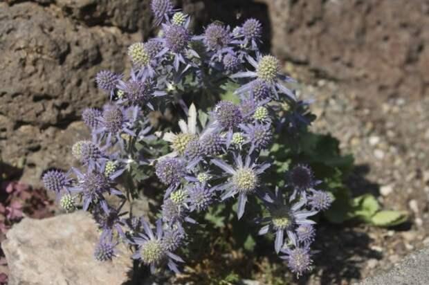 Синеголовник плосколистный (Eryngium planum)