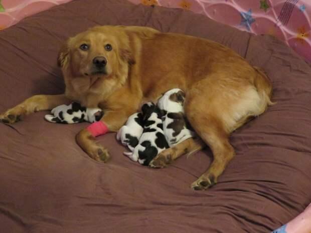 Люди спасли собаку-ретривера, а утром она родила курьёзных детей!)