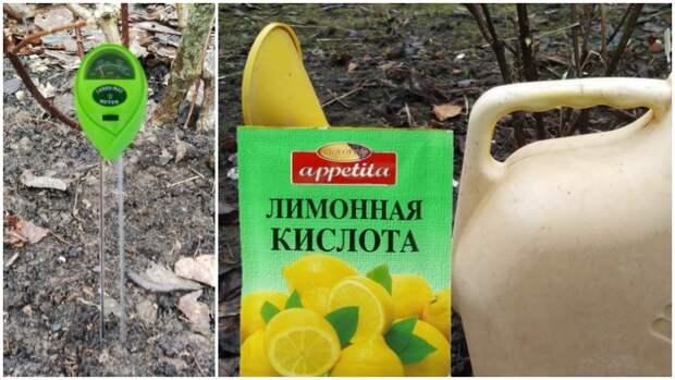 Правильный уход весной, и гортензия отблагодарит вас. Размер соцветий вас удивит