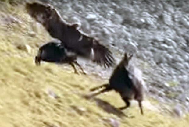Выжить любой ценой: смертельная схватка орла и серны