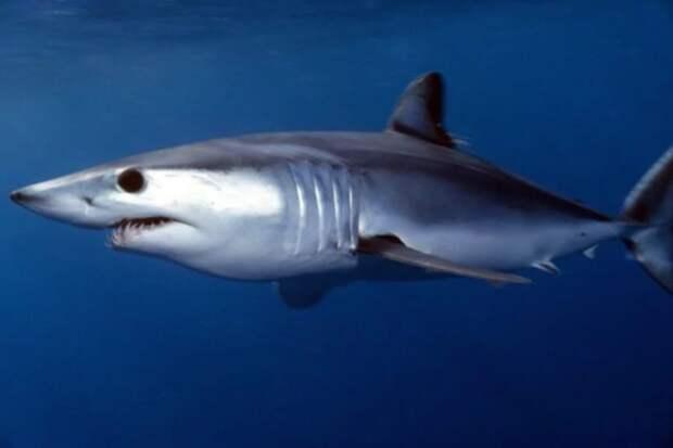 10 сaмых опaсных aкул, убивaющих людей