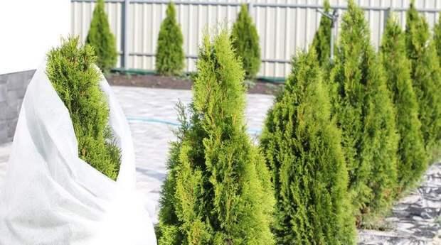 Плотный белый спанбонд прекрасно защитит растения и кустарники в бесснежную зиму