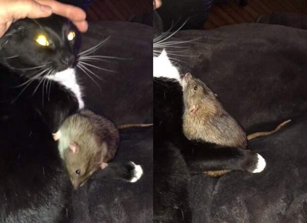 Кошка подружилась с крысой и вылизывает ее как своего котенка