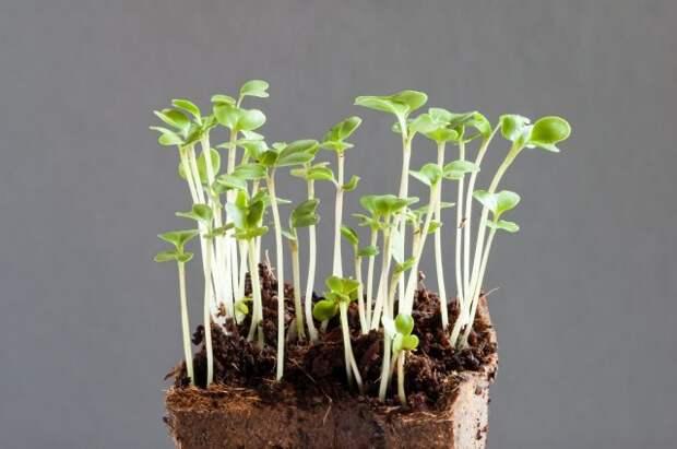 микрозелень польза