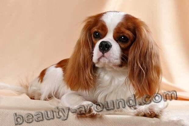 Кавалер кинг чарльз спаниель комнатные собачки фото, породы собак с фотографиями