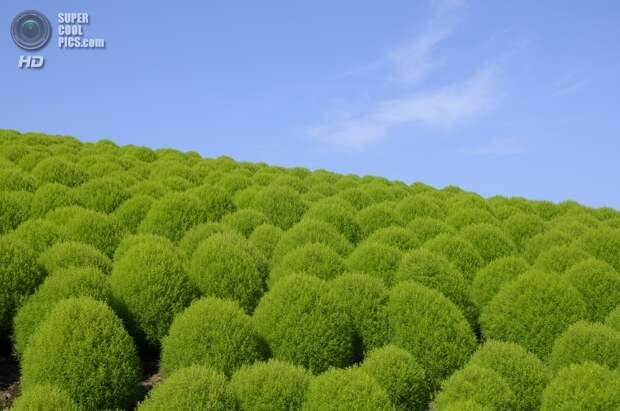 Япония. Хитатинака, Ибараки. Парк Хитачи-Сисайд. Лето. Кусты кохии. (saname777)
