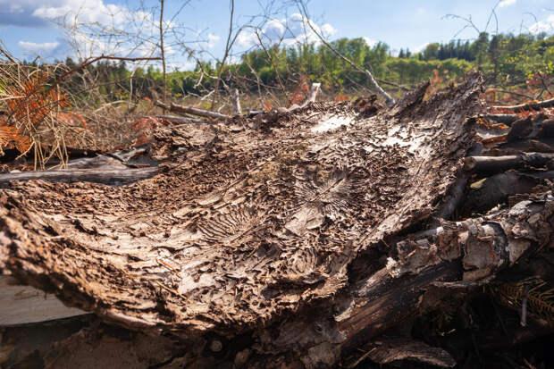 Жуки в доме: как защитить деревянные строения от вредителей