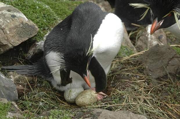 Почему у хохлатого пингвина первое яйцо меньше второго?