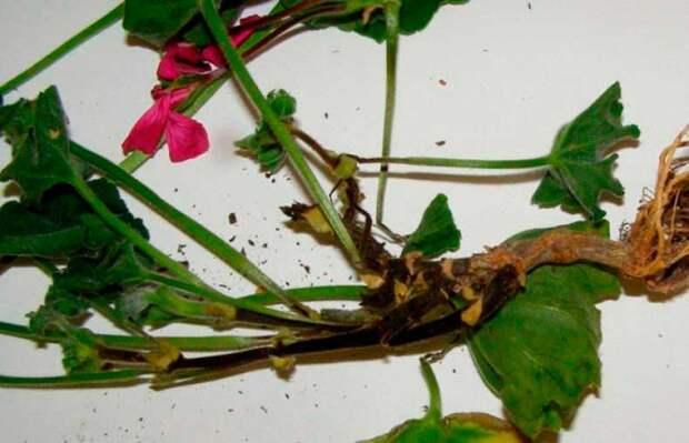 Болезнь комнатных растений Черная ножка
