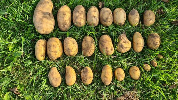 """Что выросло из картошки из """"Пятерочки""""😳. Посадили ради эксперимента и удивились результату"""