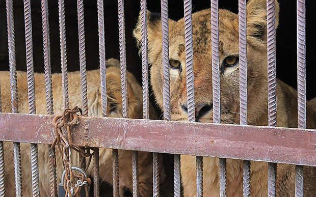Как южноафриканец спасал львиц из частного украинского зоопарка