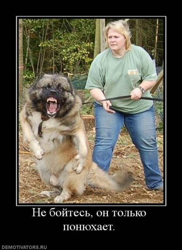 Лицензия на собаку. В РФ собак опасных пород приравняют к оружию животные, факты