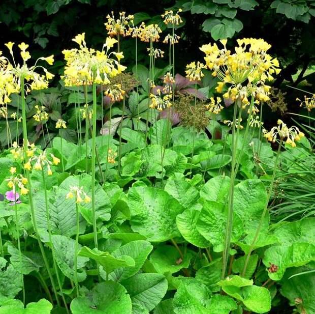 Примула Флоринды, фото сайта plantlust.com