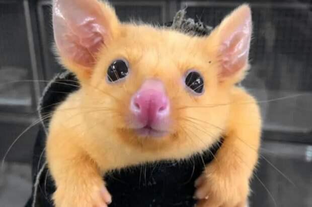 Покемоны существуют: вАвстралии нашли желтого поссума, который так похож наПикачу