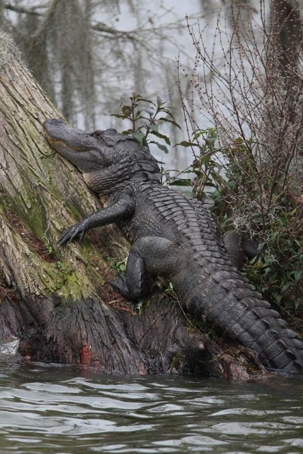 Первый в мире презерватив был сделан из кишки крокодила более 4 тысяч лет назад. До этого додумались египтяне. аллигатор, интересное, крокодил, природа, факты, фауна