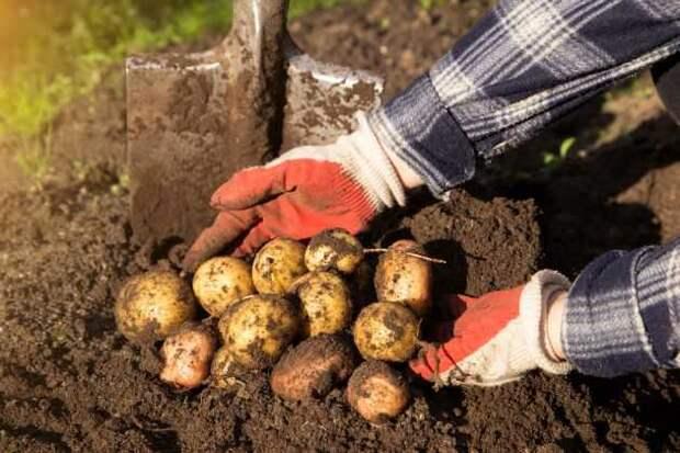 Семенной картофель требует особого внимания.