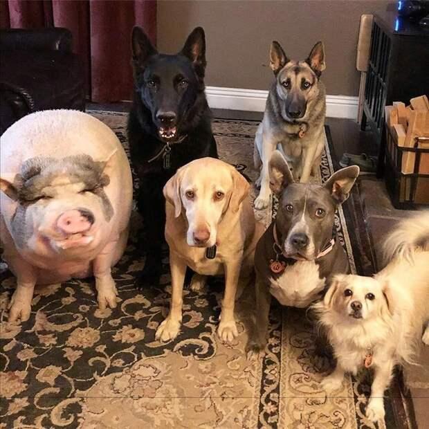 Иногда она даже носит ошейник Похлебка, домашний питомец, животные, милота, свинья, собаки