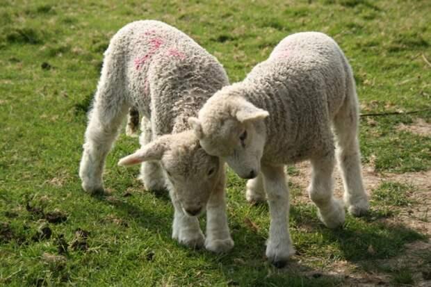 Этим ягнятам играть под родительским присмотром не обязательно. Своих детенышей в огромном стаде овцы  безошибочно находят по запаху