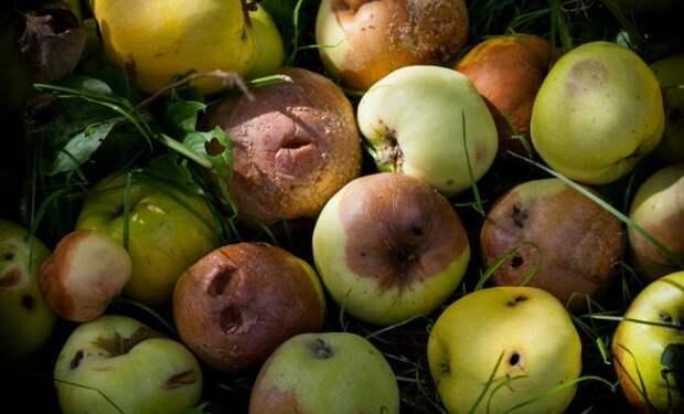 Не выкидывайте опавшие яблоки. Утилизируйте падалицу правильно и с пользой