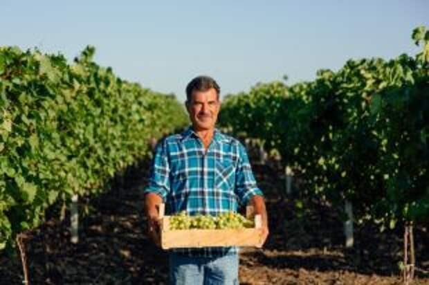 Вино родных пенатов. Перспективы отечественного виноделия и виноградарства