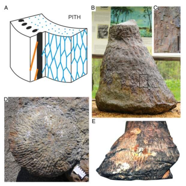 374 миллионов лет назад на Земле росли очень необычные деревья