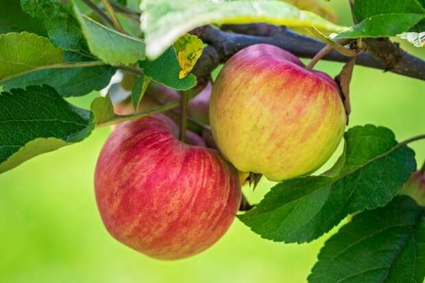 Андрей Туманов: почему на яблоне то густо, то пусто