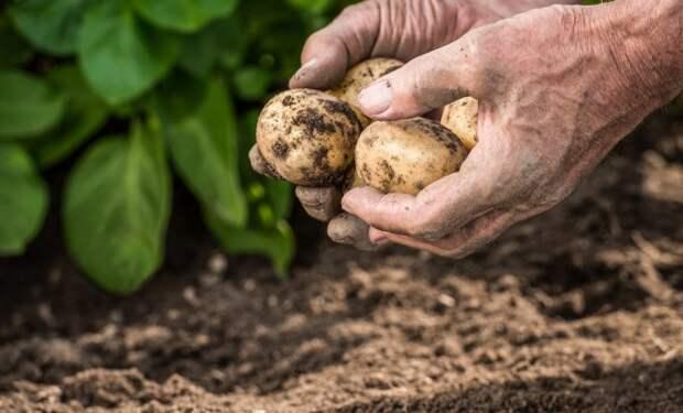 Как получить сверхранний картофель – технология выращивания под укрытием