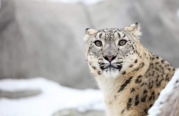 НаАлтае нашли новое место обитания редких снежных барсов