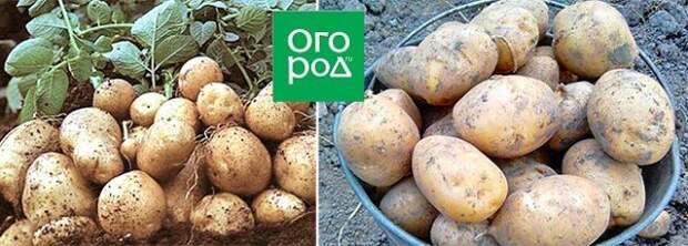 самые крупные сорта картофеля