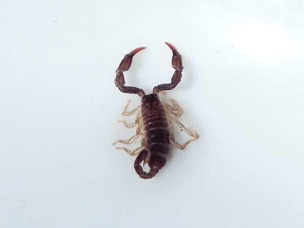 Скорпион напал на жительницу Казани, купившую виноград в сетевом магазине