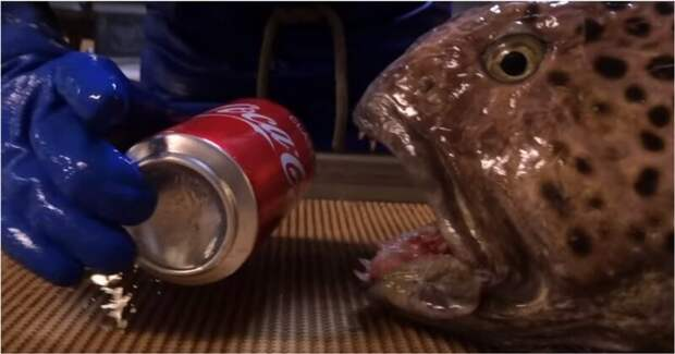 Челюсти зубатки продолжают работать даже после смерти рыбы видео, животные, интересно, рефлекс, рыба, челюсти