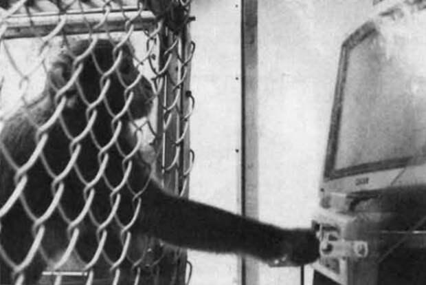 Свиней научили управлять курсором при помощи джойстика