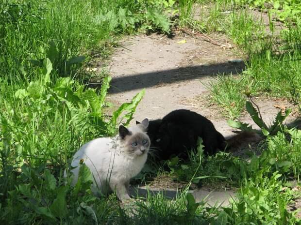 Братья наши меньшие: сиамская кошка против гриппа