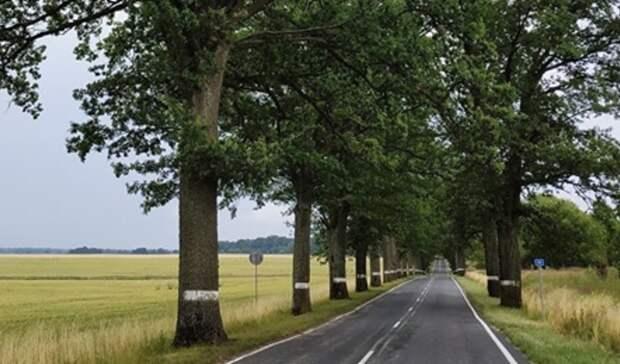 Жители Калининградской области требуют пощадить исторические аллеи у дорог