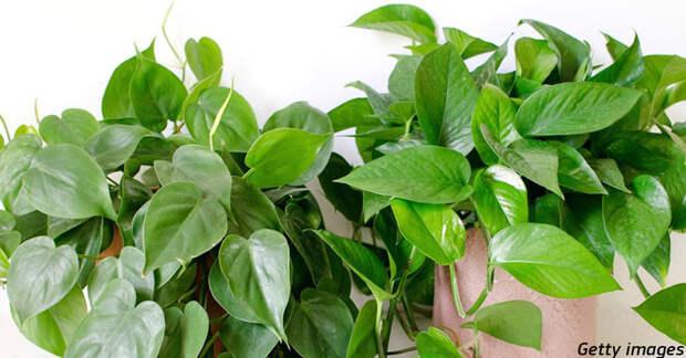 Ученые создают ГМО-растения для дома, которые удаляют канцерогены из воздуха
