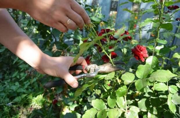 Ошибки, которые вы совершаете при выращивании роз