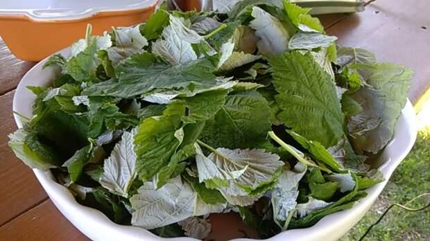 Для приготовления ферментированного чая из малиновых листьев подготовительный этап аналогичный / Фото: YouTube