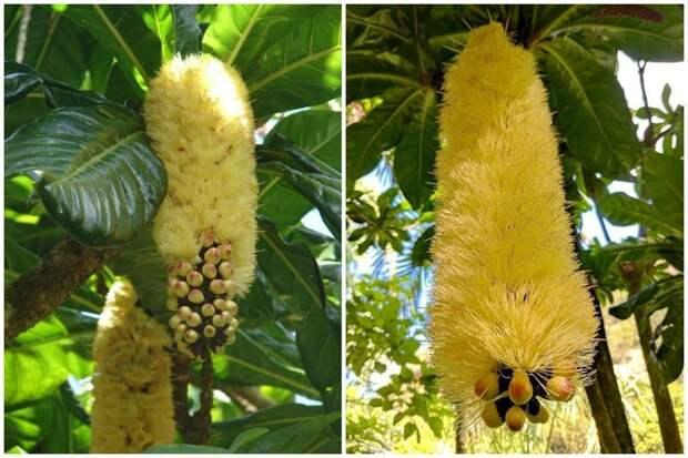 Посмотрите какие у него красивые цветы. Цветет несколько раз в год. Его еще называют Ням-ням дерево (Yum-yum Tree,) Вкусное дерево, Сердечное дерево еда, интересное, неизвестные, плоды, природа, растения, съедобные, фрукты