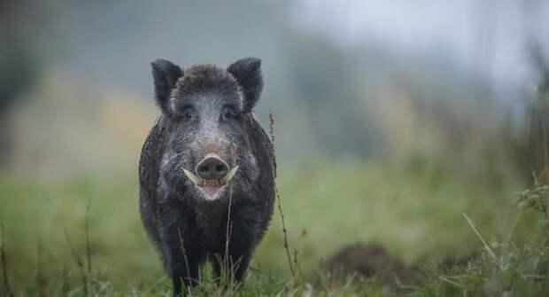 Дикие свиньи загрязняют климат на уровне автомобилей