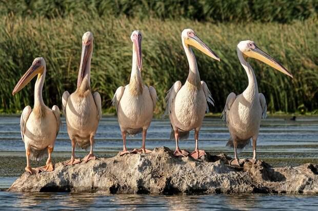 В охраняемом ЮНЕСКО птичьем заповеднике Сенегала массово погибли пеликаны