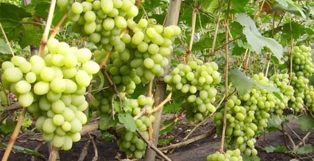 Вот какой виноград можно хранить прямо на кустах